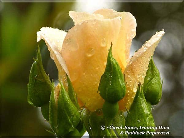 Ironing Diva Love Letters #31 A Sally Holmes Rose Bud Draped In Rain Drops 2016 August 07