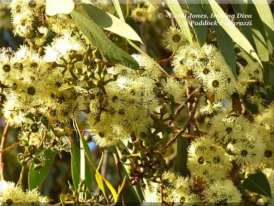 Ironing Diva Love Letters From #32 - Katrin. Stringybark Blossoms. 2016 August 12