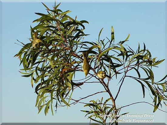 White Plumed Honeyeaters. Frolic In The Paddocks.