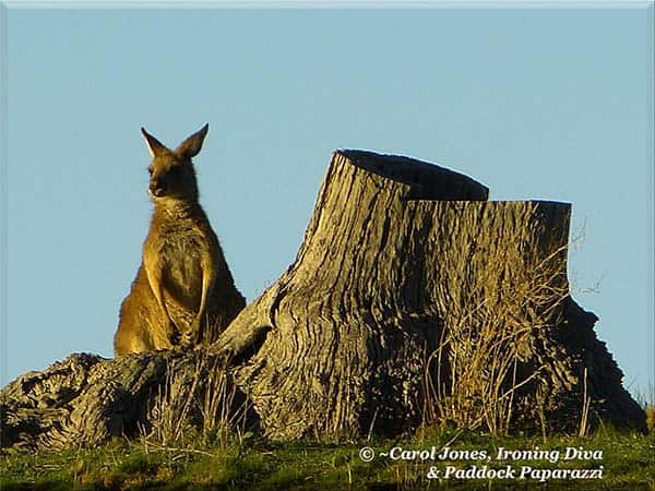 Ironing Diva Metro Pro 074 A Very Pensive Kangaroo. In The Morning Sun. 2016 August 21