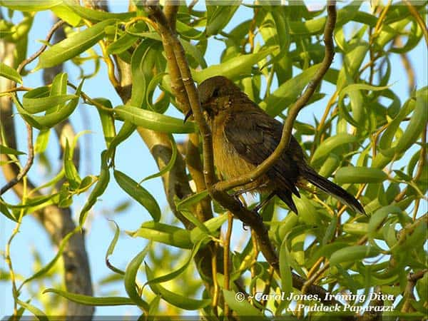 A Wet Spinebill. In A Tortured Willow. At The Paddock Dam. After Taking A Dip.