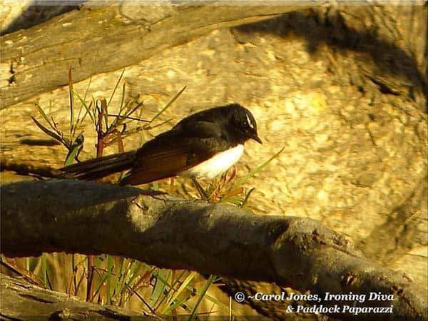 Ironing Diva Metro Pro 078 A Willie Wagtail In An Early Morning Sun Trap 2016 August 27