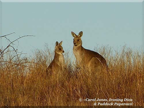 Ironing Diva Metro Pro Love Letters #30 - Evelyn. Kangaroos x 2. 2016 August 01