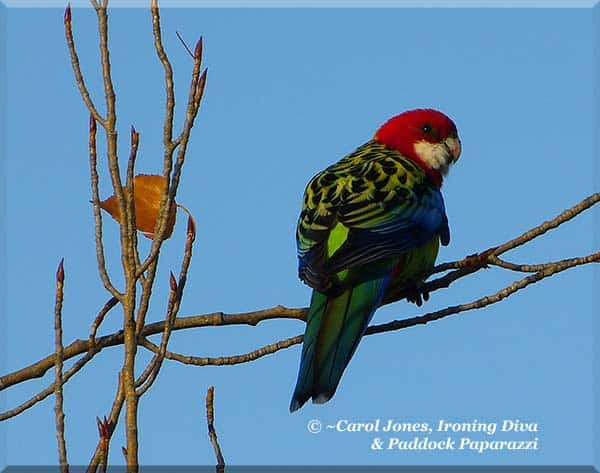 A Beautiful Eastern Rosella. At Sunrise.