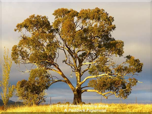 ironing-diva-love-letters-34-p2220068-eucalyptus-yellowbox-2016-september-13
