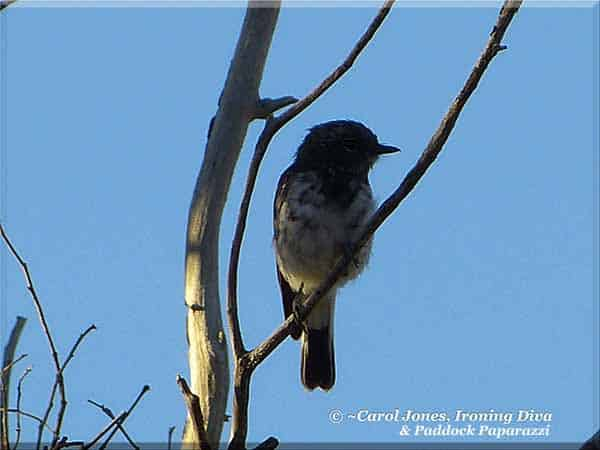 Ironing Diva Metro Pro 081 A Young Male Hooded Robin. Coming Of Age. Just Getting His Male Colours. 2016 September 01