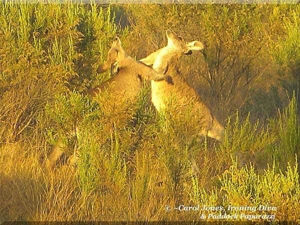Ironing Diva Metro Pro 085 An Early Morning Waltz For Kangaroos Amongst The Incense Bushes. 2013 September 06