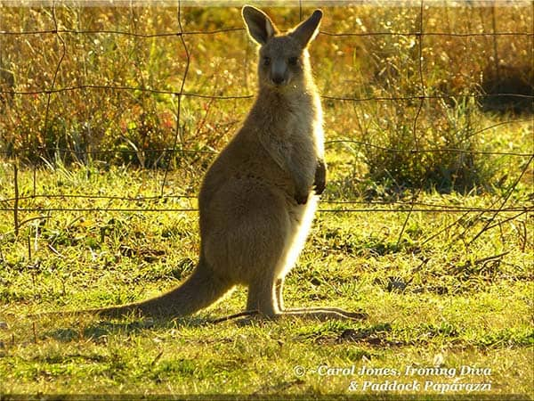 Ironing Diva Metro Pro 085 An Eastern Grey Joey. Just A Few Steps Away From Mama. 2016 September 06