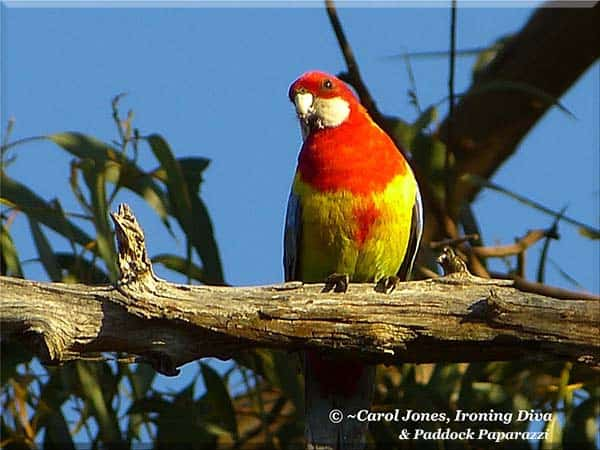 ironing-diva-metro-pro-087-an-eastern-rosella-in-a-ray-of-early-sunshine-2013-september-15