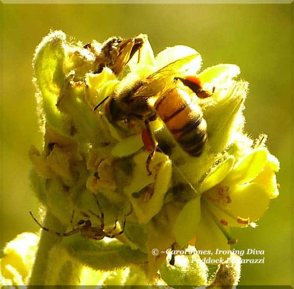 A Bee On A Wild Verbascum In The Paddocks