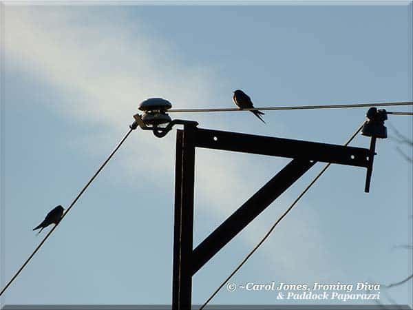 Welcome Swallows On A Wire.  In Early Dappled Light.