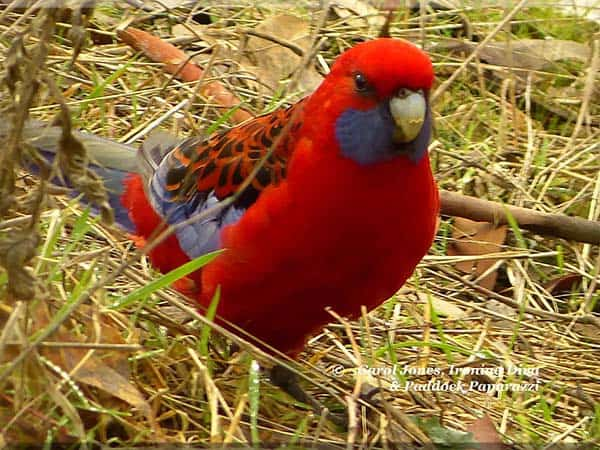 A Crimson Rosella. In My Side Paddocks.