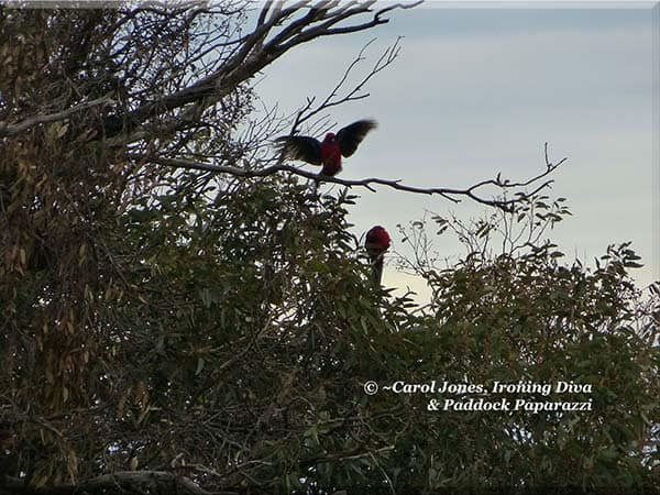 ironing-diva-metro-pro-091-birds-crimson-rosella-skylarking-2016-october-11