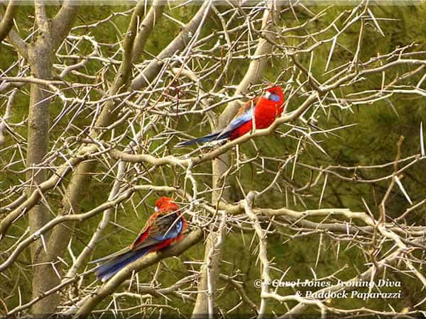 Crimson Rosellas. Relaxing. In A Gleditsia Tree.