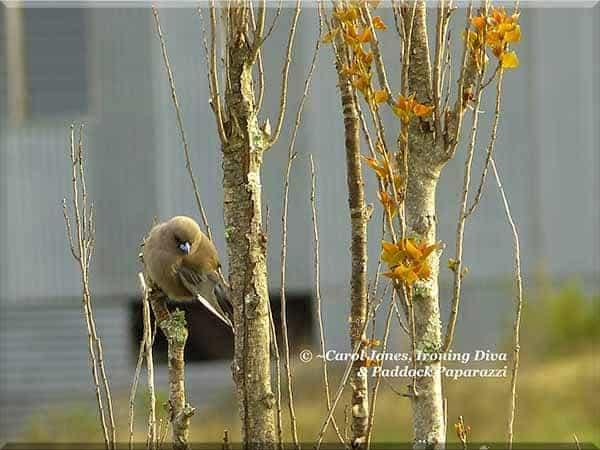 ironing-diva-metro-pro-092-birds-dusky-woodswallow-lombardy-poplar-2016-october-17