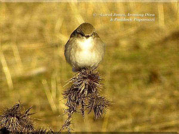 ironing-diva-metro-pro-093-birds-jacky-winter-thistle-2016-october-20