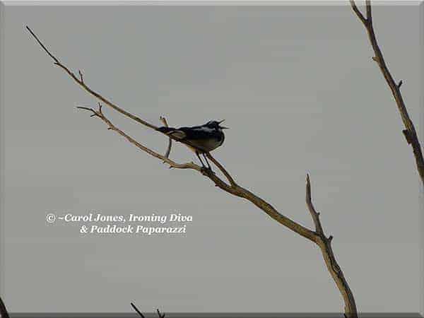 ironing-diva-metro-pro-093-birds-magpie-lark-gday-2016-october-20