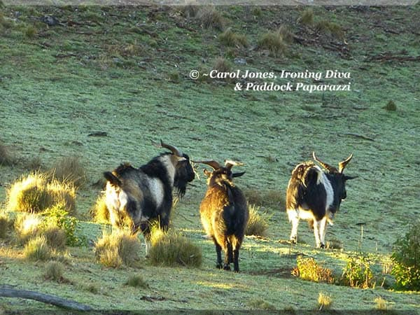 Wild Goats. In The Paddocks. At Sunrise.