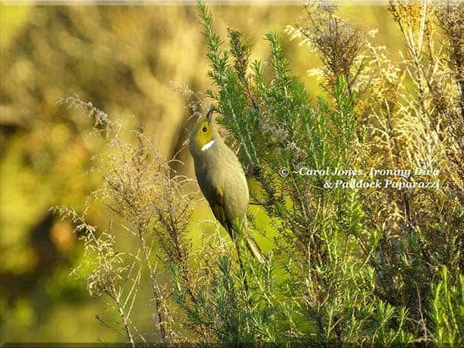 ironing-diva-metro-pro-097-birds-white-plumed-honeyeater-biddy-bush-2016-october-07