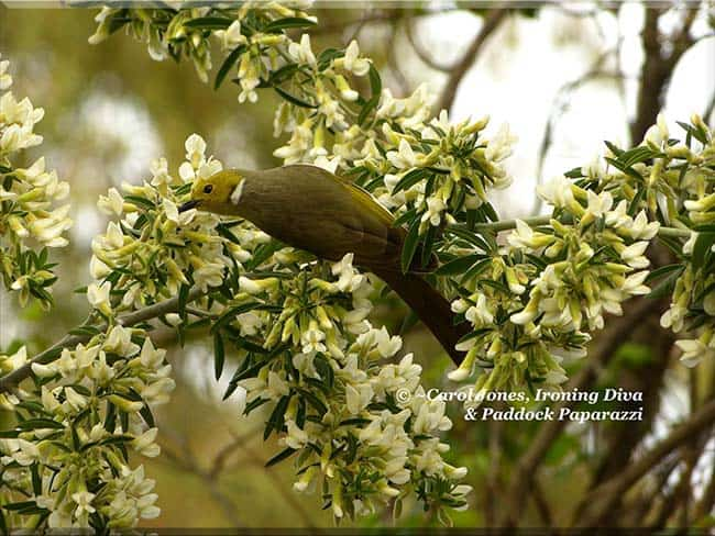 A White Plumed Honeyeater. Feasting On Nectar From Tagaste Blossoms.