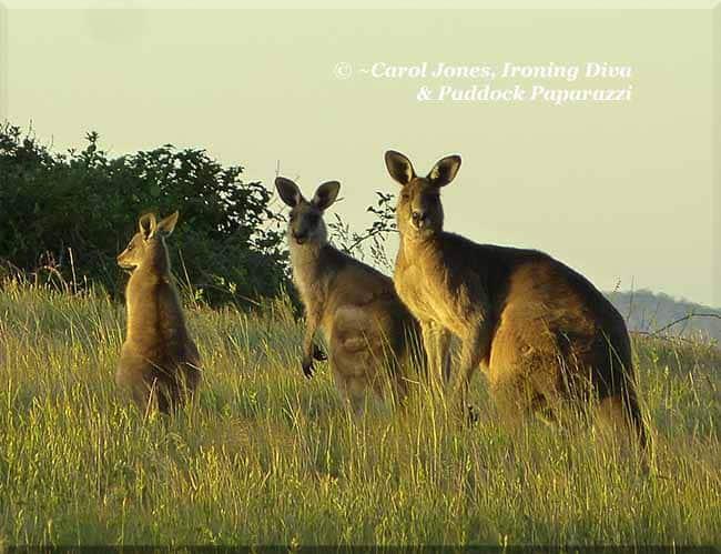 ironing-diva-metro-pro-098-p2560180-kangaroos-eyes-on-me-2016-november-13