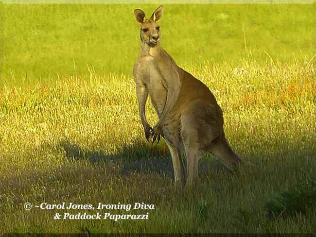 A Kangaroo. In The Lush Paddock Grass.