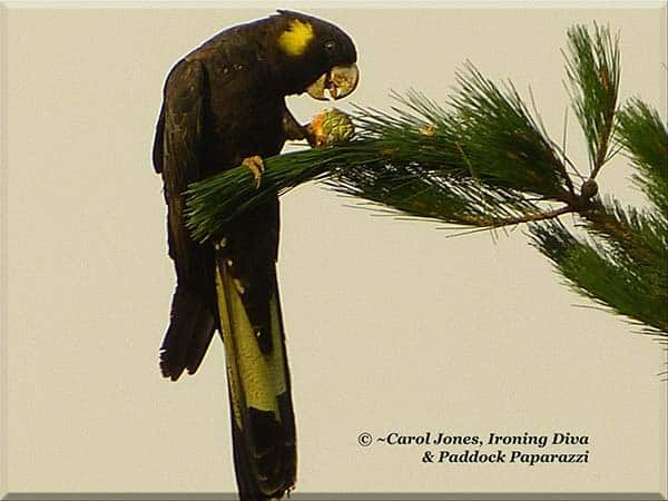 ironing-diva-metro-pro-101-black-cockatoo-eating-pine-cone-2016-november-25