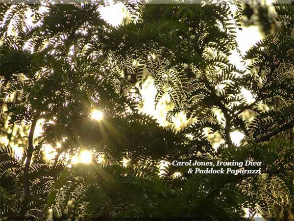 Sunrise. Through The Fern Style Leaves Of A Gleditsia Tree.