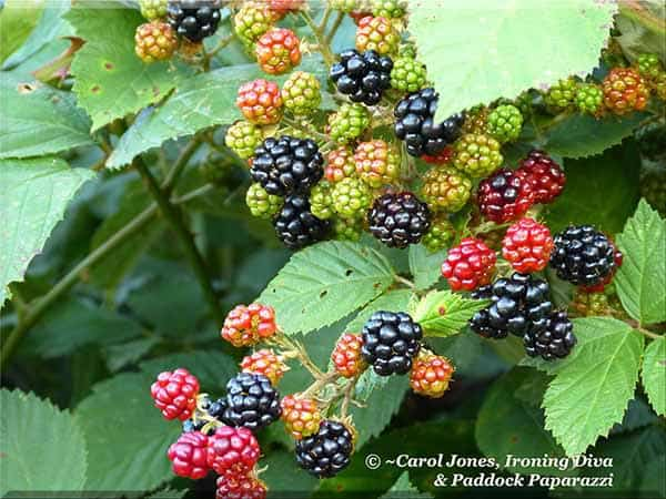 Blackberries. Ripening In The Paddocks.