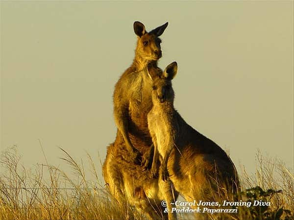 Kangaroos Aglow In This Morning's Beautiful Sunrise 2017 January 20