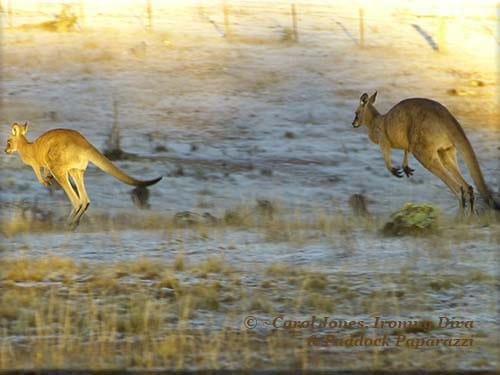 Ironing Diva. Metro Pro 104. Kangaroos. Spotlight Of Rising Sun.