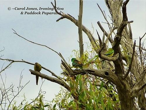 Birds. Red Rumped Grass Parrots. Stringybark. 2017 August 04