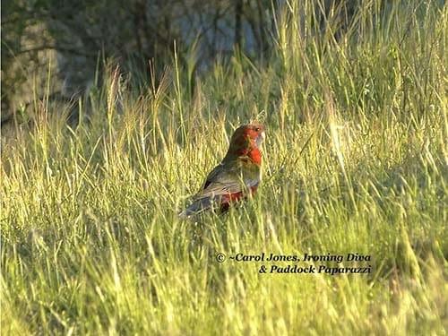 Metro Pro 105. Birds. Crimson Rosella Fledgling. Long Grass. 2017 August 02