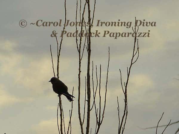 A Dusky Woodswallow. Under A Murky Sky.