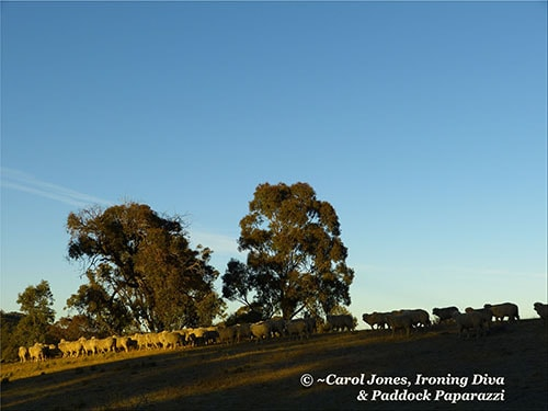 A Blue Sky Morning. And Sheep On The Move. 2014 July 14 (BLOG)
