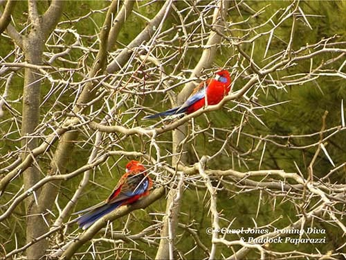 Birds. Crimson Rosellas. In A Gleditsia. 500 x 375 2016 July 02