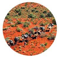 Facebook Daily. #24A Simpson Desert. Camel Expedition Australian Desert Expeditions Circle 200@ 2018 January 26