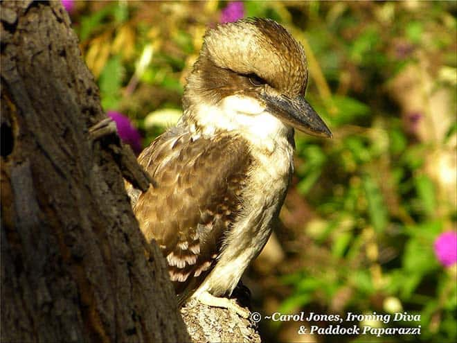 Kookaburra. Lands In Blackwood Wattle.