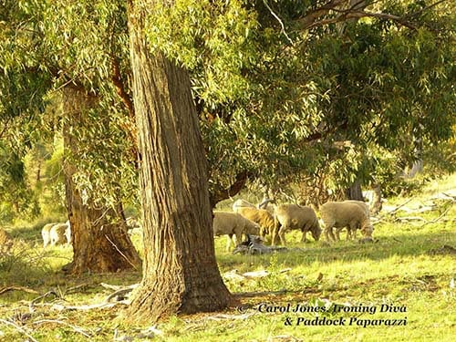 Bucolic Bliss. Sheep Grazing On My Rural Property.