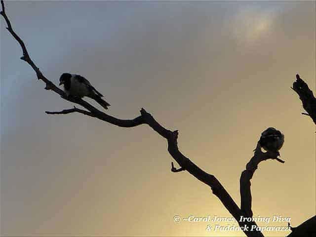 Butcherbirds. At Daybreak.