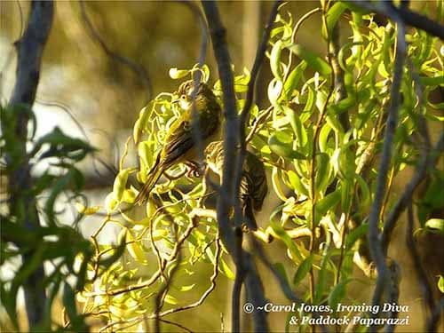 Brown Headed Honeyeater. Fledgings. In A Tortured Willow After A Splash In The Garden Dam.