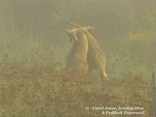 A Kangaroo Boxing Match At Foggy Bottom.