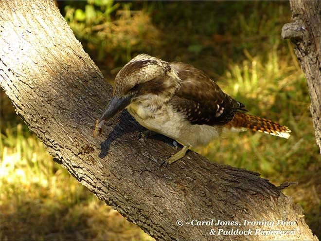 Kookaburra In Blackwood Wattle. With Caterpillar.