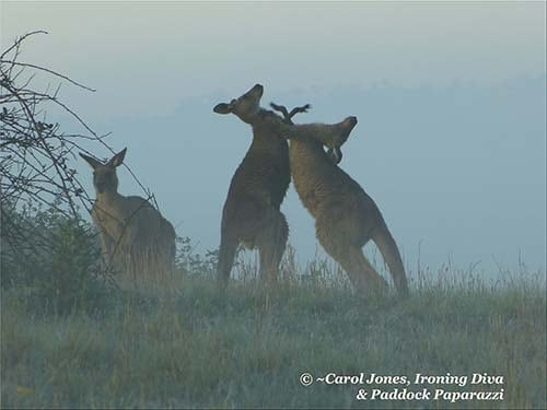 Kangaroos Boxing At First Light On A Misty Morning.