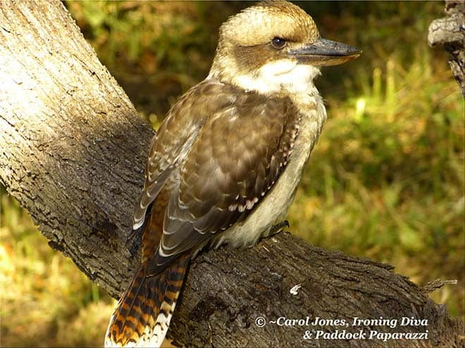 Kookaburra In Blackwood Wattle. After Caterpillar Lunch.