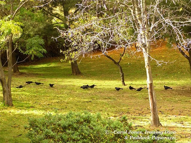 Black Choughs. In My Grove Of She Oaks. In My Hectare Of Garden..