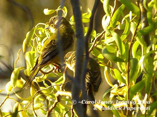Brown Headed Honeyeater Fledglings. In A Tortured Willow.