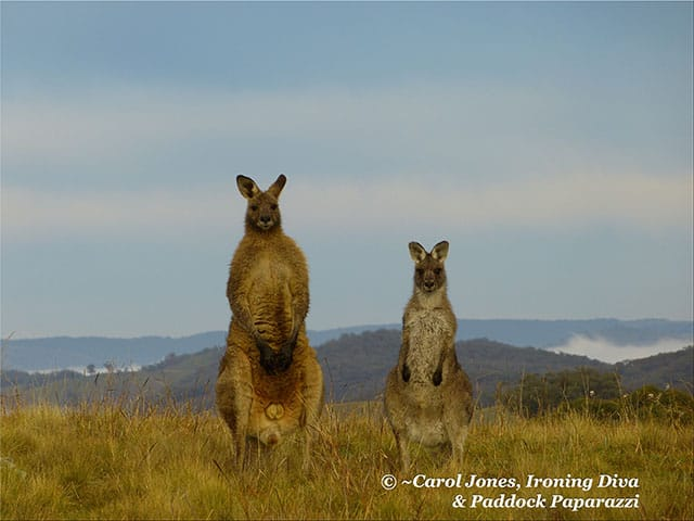 Cold & Wet Kangaroos Fluffed Up Against The Blustery Winter Wind.