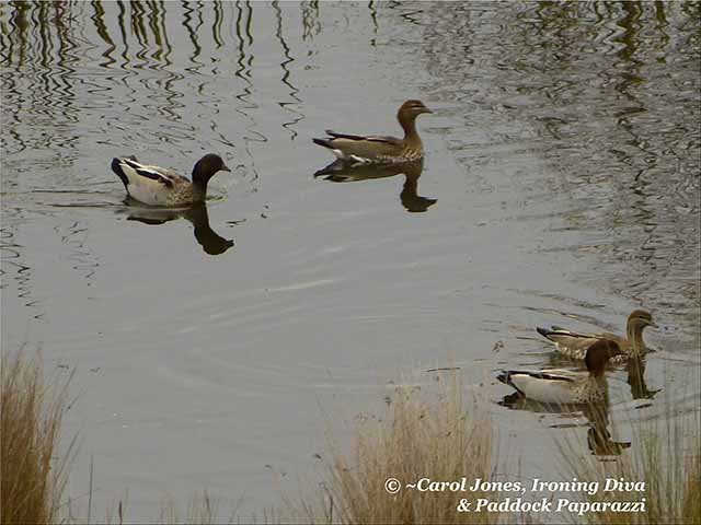 Couples. Wood Ducks On The Dam At Daybreak.