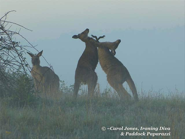 Boxing Kangaroos. Misty Early Light.